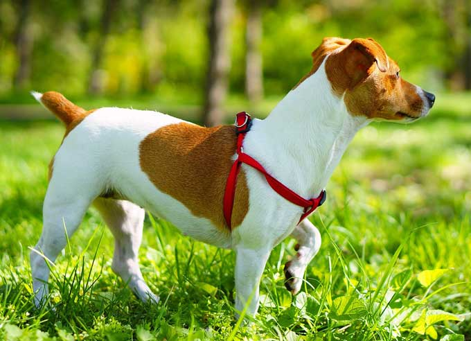 Jack-russell terrier