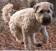 Hypoallergenic Soft Coated Wheaten Terrier