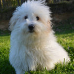 Coton de Tulear dogs don't shed much