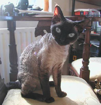 A Devon Rex is one of the cats that don't shed