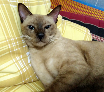 A Javanese cat