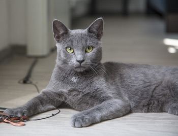 Russian blue cats don't shed