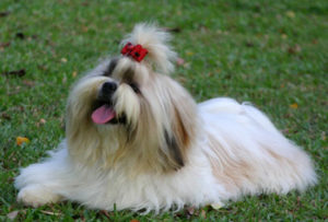 List of Hypoallergenic Dogs (Breeds of Dogs that Don't Shed)
