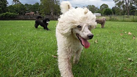 A miniature poodle