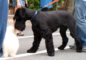 Non shedding dogs: Giant Schnauzer