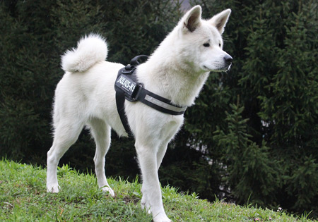 Akita Inu are large white dogs