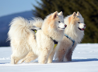 Samoyed are big and white