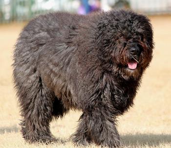 Bouvier Des Flandres are big non shedding dogs