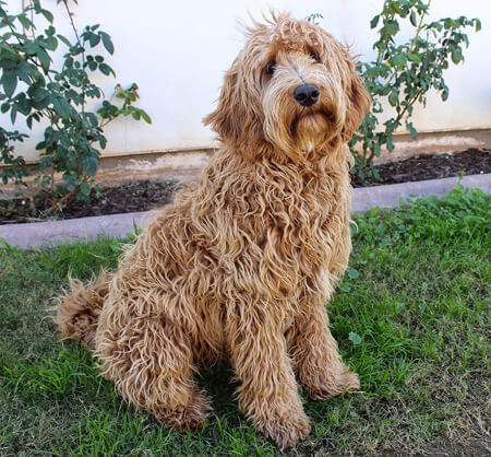 Are Labradoodle hypoallergenic