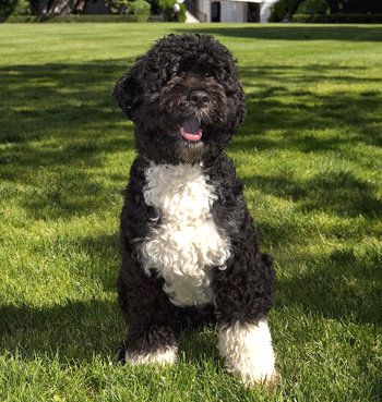 Portuguese Water Dogs don't shed