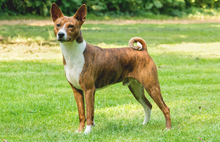 Basenji are barkless dogs from Africa