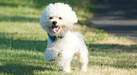 Bichon Frise are small fluffy dogs