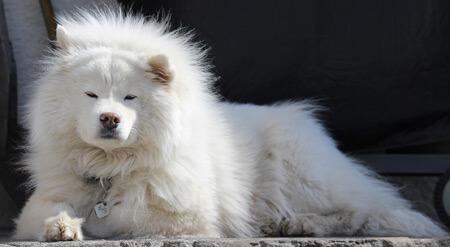 Samoyed are big non-shedding dogs