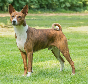 Are Basenji hypoallergenic dogs