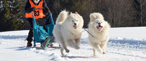 Are Samoyed hypoallergenic dogs