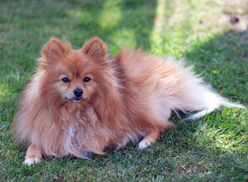 Pomeranian are fluffy dogs