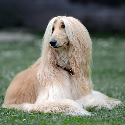 Afghan Hound are big hypoallergenic dogs