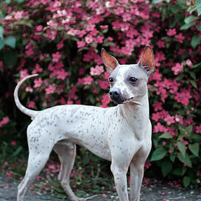 American Hairless Terrier don't shed