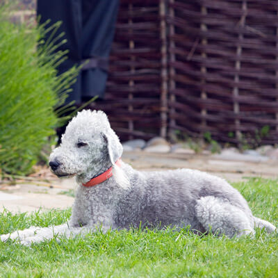 Bedlington Terrier are hypoallergenic