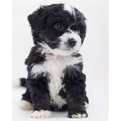 Bernedoodle are a non-shedding Poodle mix breed