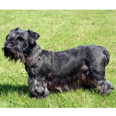 Cesky Terrier are hypoallergenic