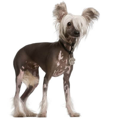 Chinese Crested Dog are low-shedding dogs
