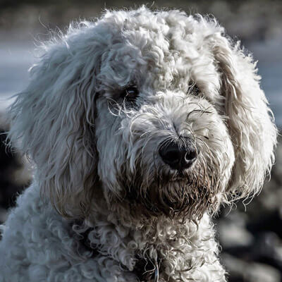 Goldendoodle are Hypoallergenic