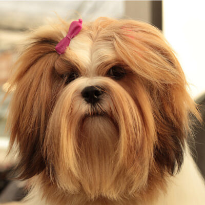 Lhasa Apso are good for people who have allergies