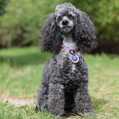 Miniature Poodle are hypoallergenic and great for people with allergies