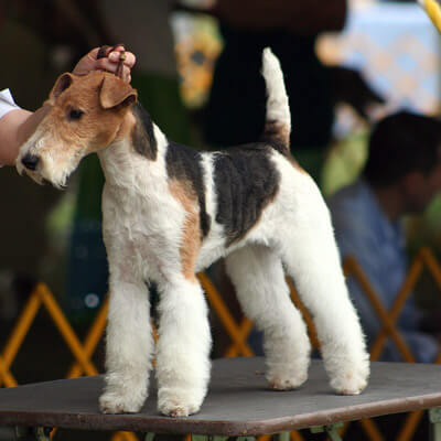 Wirehaired Fox Terrier are low-allergy dogs