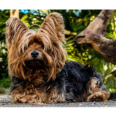 Yorkshire Terrier are allergy-free dogs