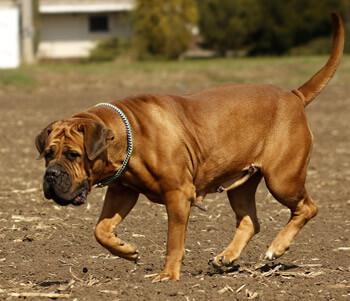 Boerboel dogs are a badass dog breed
