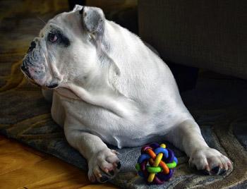 Bulldogs are tough dogs
