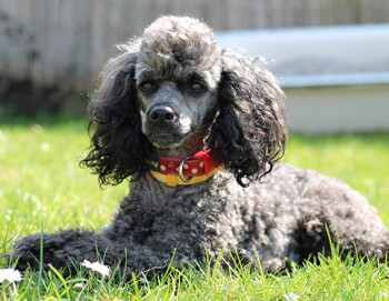 Poodle is a great dog breed