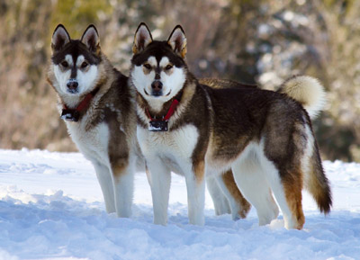 Bear is a good dog name that starts with B for the Alaskan Malamute
