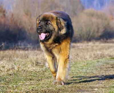 Beast is a good dog name that starts with B for the huge Leonberger