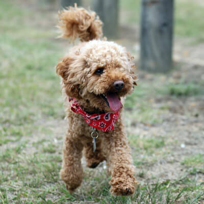 Buddy is a great name for a Toy Poodle