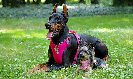 C names for a Doberman and Yorkie