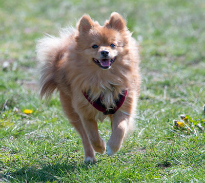 Boo was the name of a famous Pomeranian dog