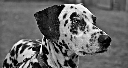 A Dalmatian's name can start with C